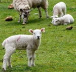 spring lamb words evoke
