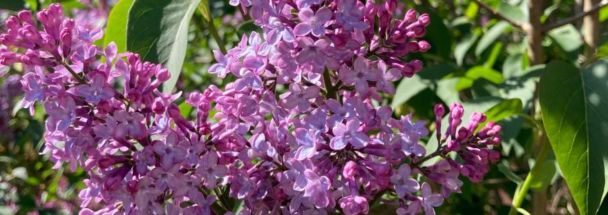 lilac, spring flower